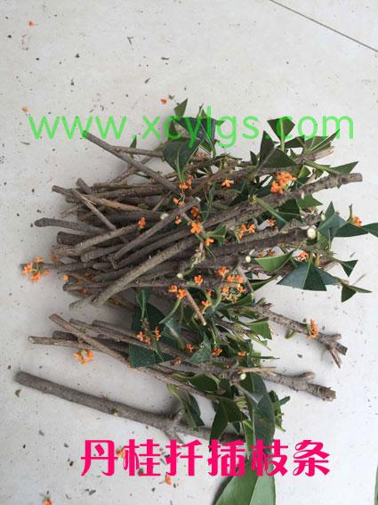 丹桂扦插枝条