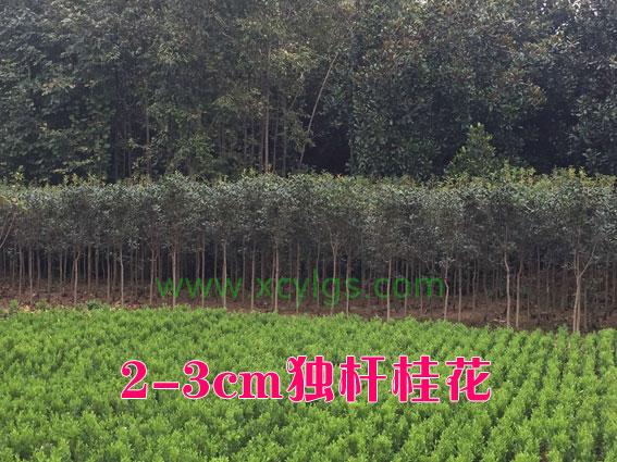 2-3cm独杆桂花