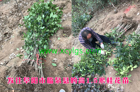 1.5米桂花苗
