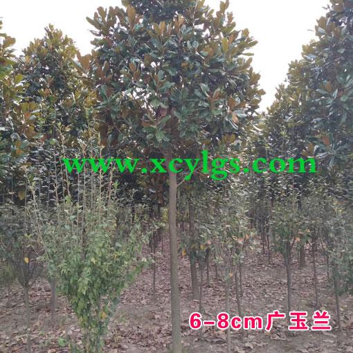 6-8cm广玉兰