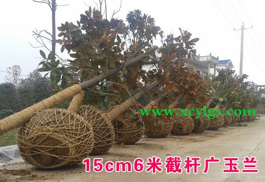 15cm6米截杆广玉兰