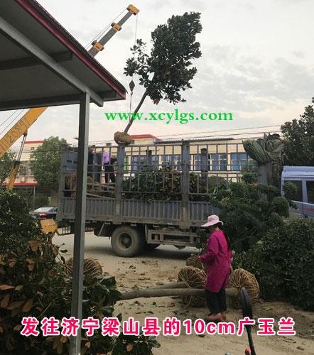 发文济宁梁山县10cm广玉兰