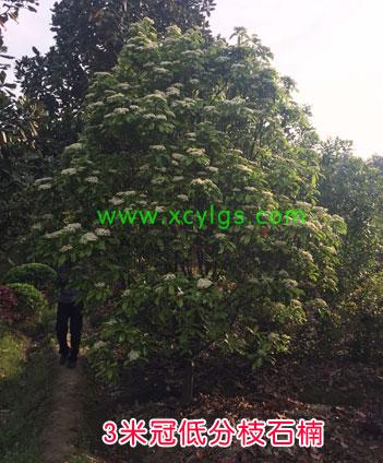 3米冠低分枝石楠