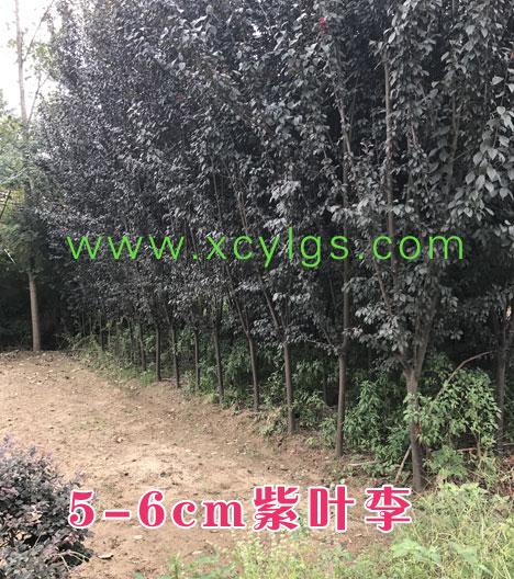5-6cm紫叶李