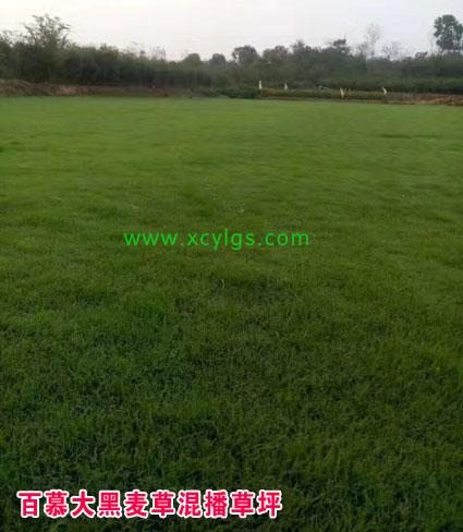百慕大黑麦草混播草坪