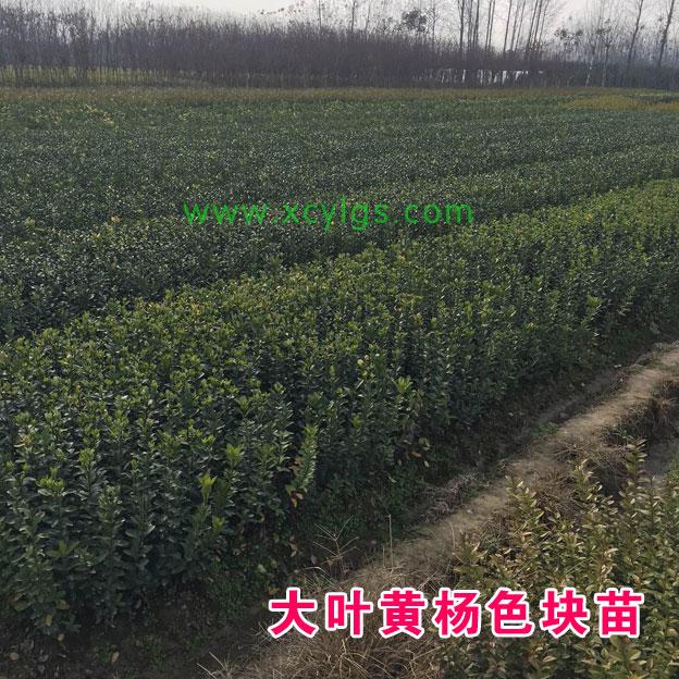 大叶黄杨色块苗