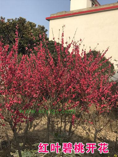 红叶碧桃开花