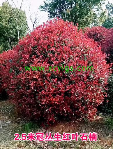 2.5m冠丛生红叶石楠