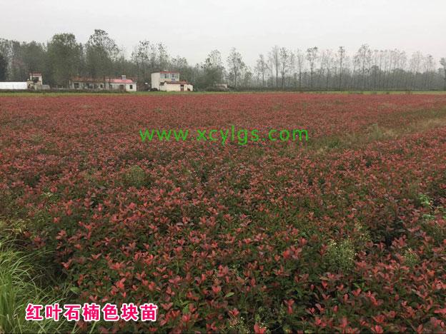红叶石楠色块苗