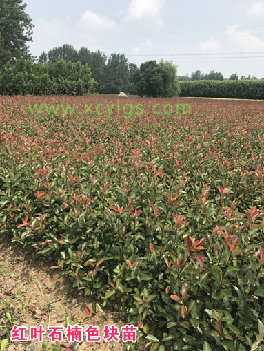 红叶石楠 色块苗