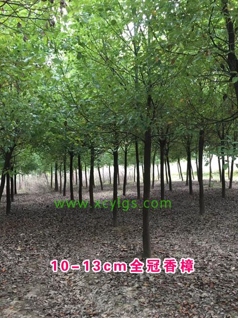 10-13全冠香樟
