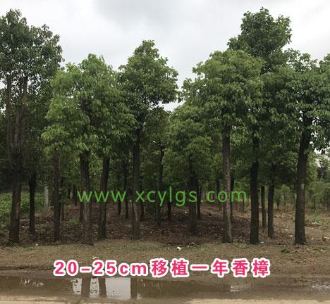 20-25cm移植一年香樟