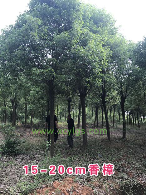 15-20cm香樟