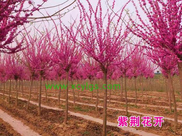 紫荆花开基地
